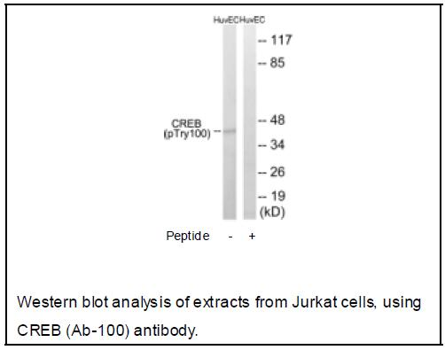 CREB (Ab-100) Antibody (OAEC03821) in Jurkat cells using Western Blot