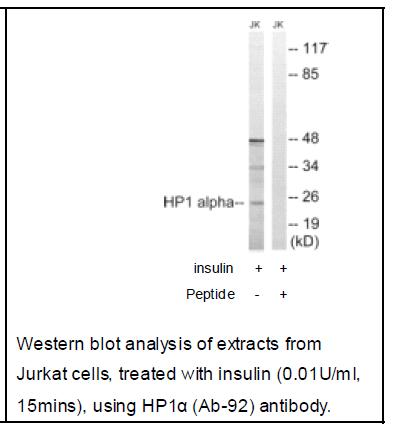 HP1α (Ab-92) Antibody (OAEC04025) in Jurkat cells using Western Blot