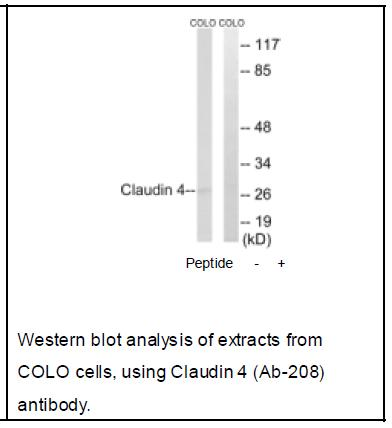 Claudin 4 (Ab-208) Antibody. (OAEC04063) in COLO cells using Western Blot