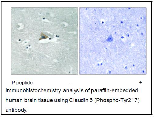 Claudin 5 (Phospho-Tyr217) Antibody (OAEC04064) in Human brain cells using Immunohistochemistry