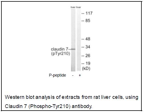 Claudin 7 (Phospho-Tyr210) Antibody (OAEC04067) in Rat liver cells using Western Blot