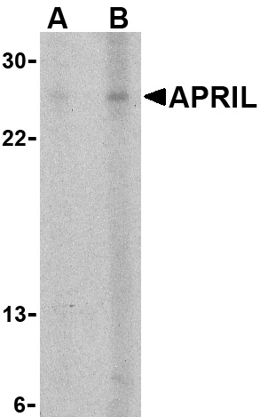 APRIL Antibody (OAPB00089) in K562 cells using Western Blot