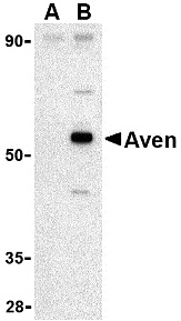 Aven Antibody (OAPB00135) in Raji cells using Western Blot