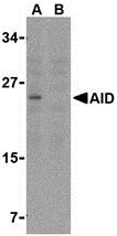 AID Antibody (OAPB00184) in Ramos cells using Western Blot