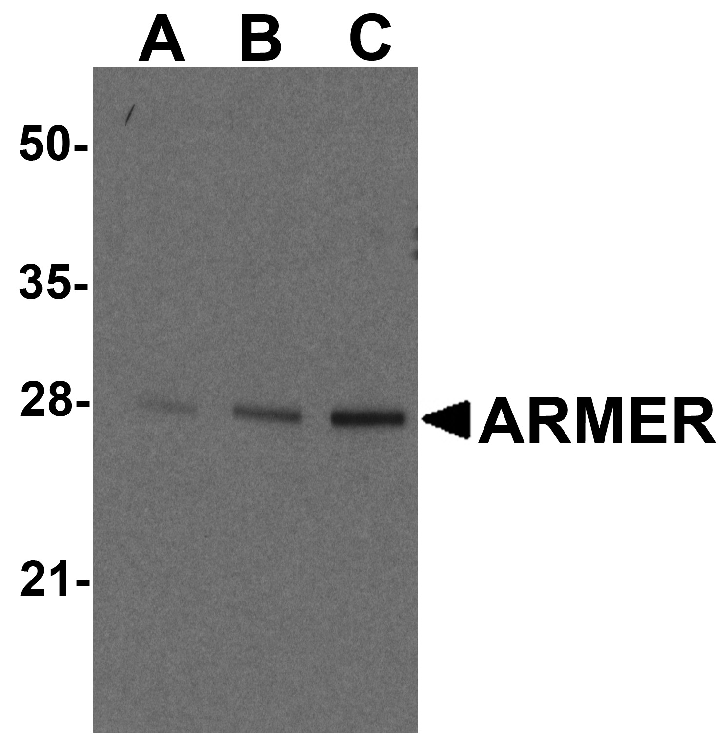 ARMER Antibody (OAPB00235) in mousemall intestine cells using Western Blot
