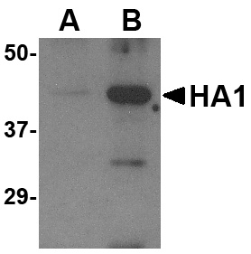 Avian Influenza Hemagglutinin Antibody (OAPB00273) in  cells using Western Blot