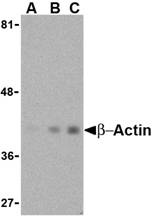 Beta-actin Antibody (OAPB00401) in Hela cells using Western Blot
