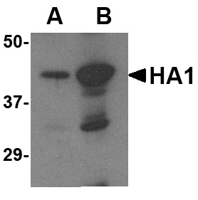 Avian Influenza Hemagglutinin 2 Antibody (OAPB00445) in  cells using Western Blot