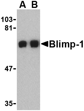Blimp-1 Antibody (OAPB00470) in A549 cells using Western Blot