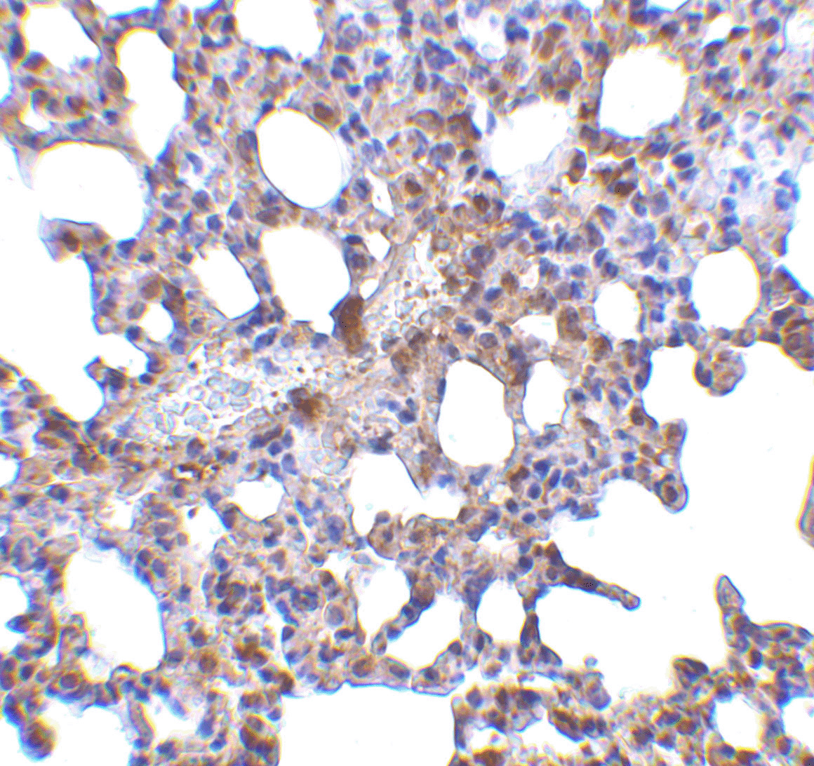 Blimp-1 Antibody (OAPB00471) in Mouse Lung cells using Immunohistochemistry