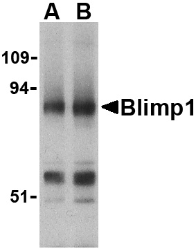 Blimp-1 Antibody (OAPB00471) in Mouse Lung cells using Western Blot