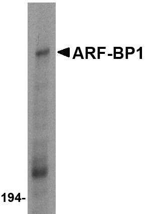 ARF-BP1 Antibody (OAPB00527) in Daudi cells using Western Blot