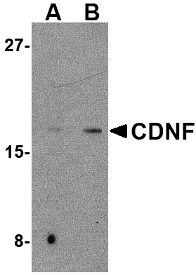CDNF Antibody (OAPB00578) in mouse brain cells using Western Blot