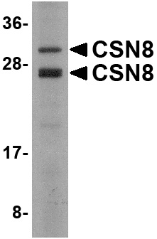 CSN8 Antibody (OAPB00678) in human liver cells using Western Blot