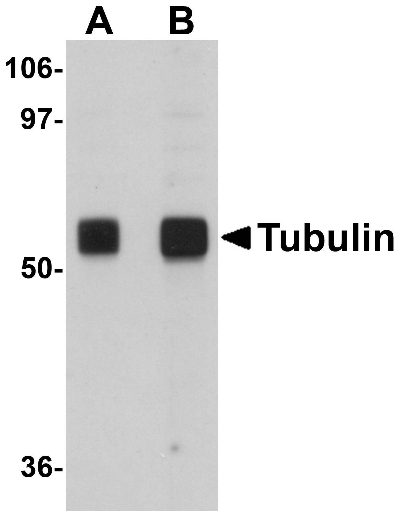 Alpha-tubulin Antibody (OAPB00857) in rat brain cells using Western Blot