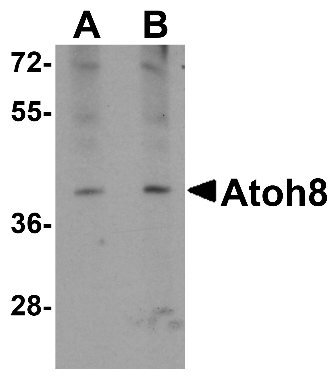 ATOH8 Antibody (OAPB00860) in A-20 cells using Western Blot
