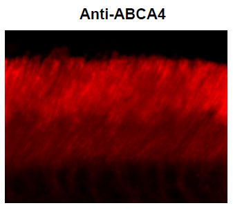 Anti-ABCA4 (Rim Protein) (OAPC00010) in Mouse retina cells using Immunohistochemistry