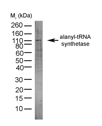 AARS Antibody (OASA00912) in HeLa cells using Western Blot