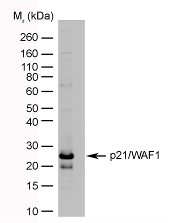 CDKN1A Antibody (OASA03186) in p21/WAF1 transfected cells using Western Blot