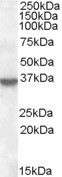 ANXA1 antibody - C-terminal region (OASA06021) in A431 cells using Western Blot