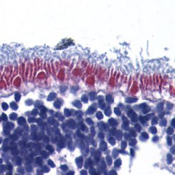 AIFM1 Antibody (OASA06957) in human retina cells using Immunohistochemistry