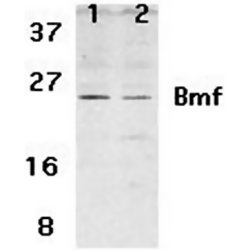 BMF antibody - N-terminal region (OASA07049) in humanHepG2 and 293 cells using Western Blot