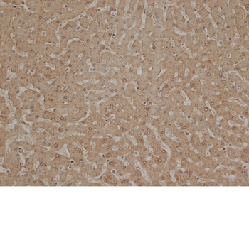 ANXA10 Antibody (OASA07412) in human liver stained cells using Immunohistochemistry