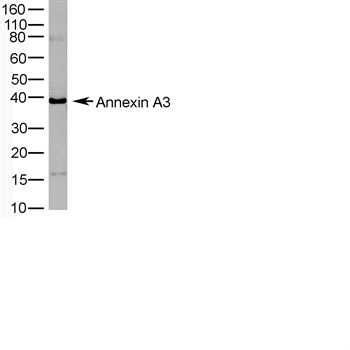 ANXA3 Antibody (OASA07416) in  cells using Western Blot