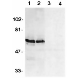 BAG4 Antibody (OASA08800) in HeLa (1, 3) and THP-1 (2, 4) cells using Western Blot