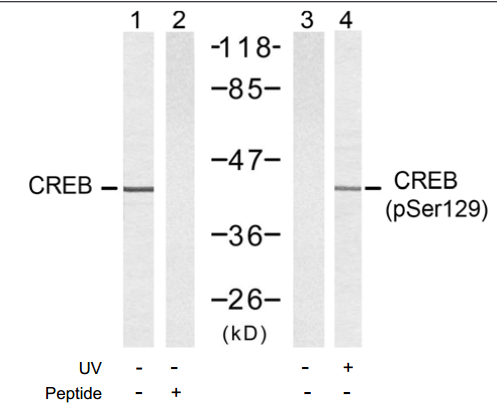 CREB1 Antibody (OASC00141) in 293, untreated or treated with UV, cells using Western Blot