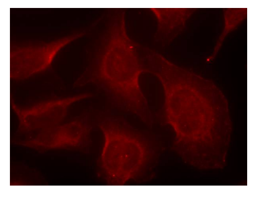 BCL2L11 Antibody (OASC00147) in Hela cells using Immunofluorescence