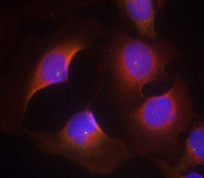 CDK6 Antibody (OASC00170) in Hela cells using Immunofluorescence