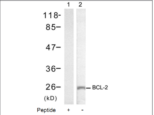 BCL2 Antibody (OASC00221) in MCF-7 cells using Western Blot