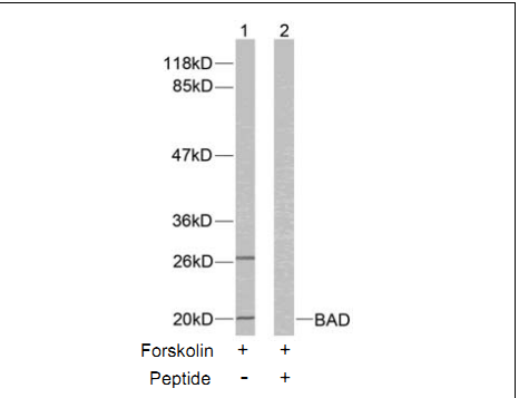 Bad Antibody (OASC00224) in 293T cells using Western Blot