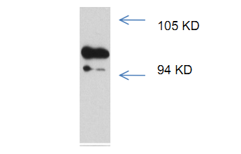 AR Antibody (OASC00250) in Rat Testis cells using Western Blot