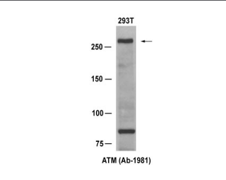 ATM Antibody (OASC00272) in 293T cells using Western Blot
