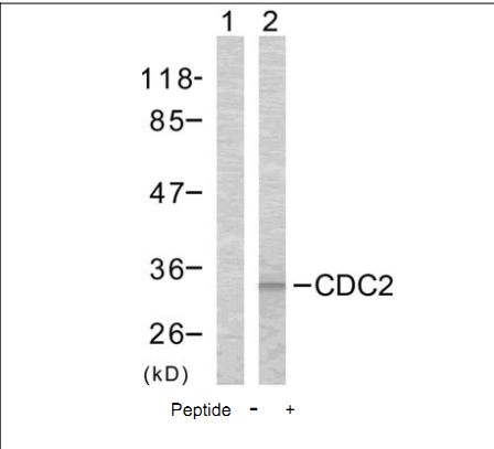 CDK1 Antibody (OASC00274) in COLO cells using Western Blot