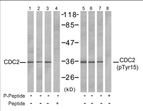 CDK1 Antibody (OASC00311) in COLO and HepG2 and K562 cells using Western Blot