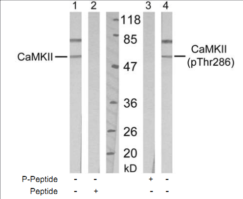 CAMK2A Antibody (OASC00337) in Mouse Brain cells using Western Blot