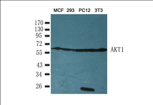AKT1 Antibody (OASC00359) in 3T3, PC12, 293 and MCF cells using Western Blot