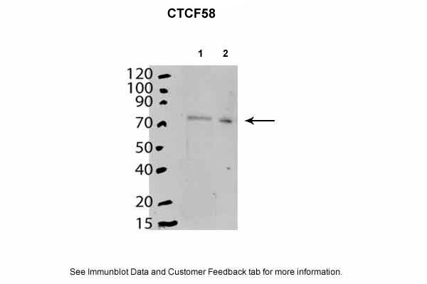 CTCF Antibody - C-terminal region (ARP31080_P050) in Mouse stem cells using Western Blot