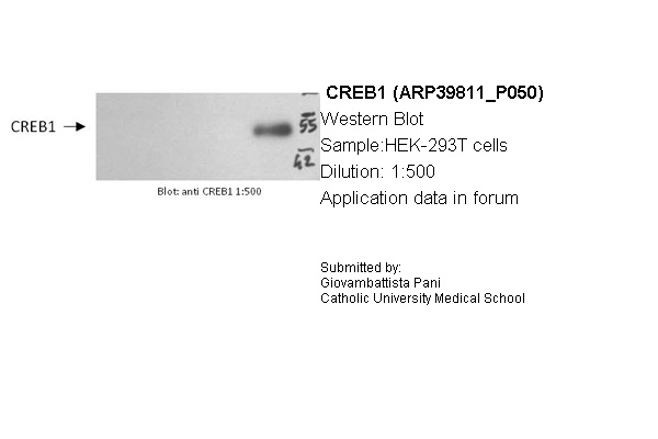 CREB1 antibody - middle region (ARP39811_P050) in Human HEK293 cells using Western Blot