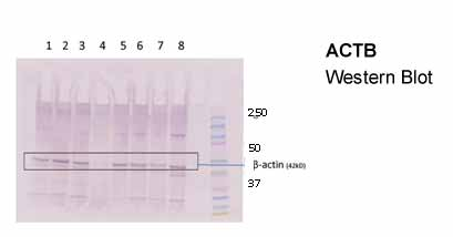 ACTB Antibody - middle region (ARP40174_P050) in Human cells using Western Blot