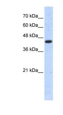 ACTB Antibody - middle region (ARP40174_P050) in Human 293T cells using Western Blot