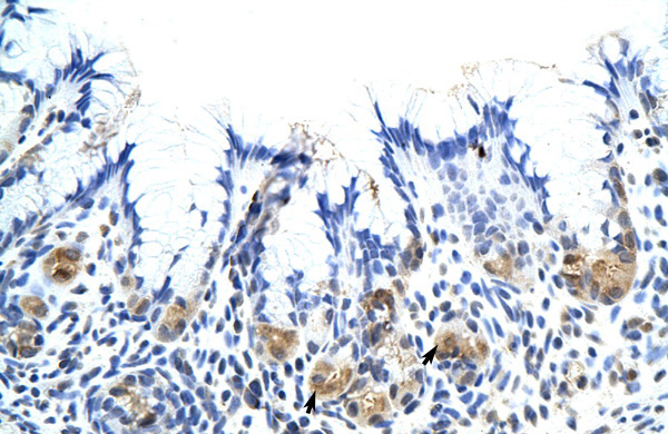 CSH1 antibody - middle region (ARP40350_T100) in Human Stomach cells using Immunohistochemistry