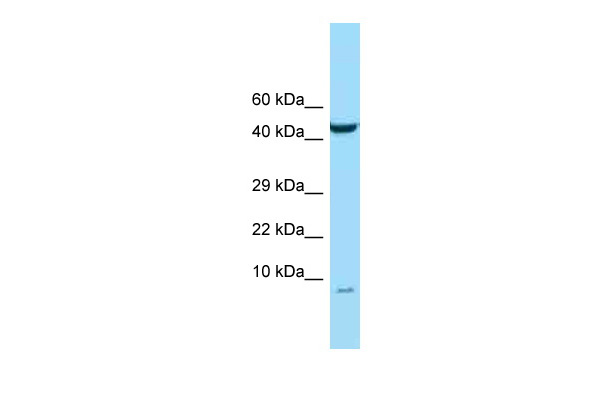 C15orf48 antibody - N-terminal region (ARP50069_P050) in PANC1 cells using Western Blot