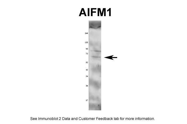 AIFM1 antibody - middle region (AVARP02013_P050) in rat aorta cells using Western Blot