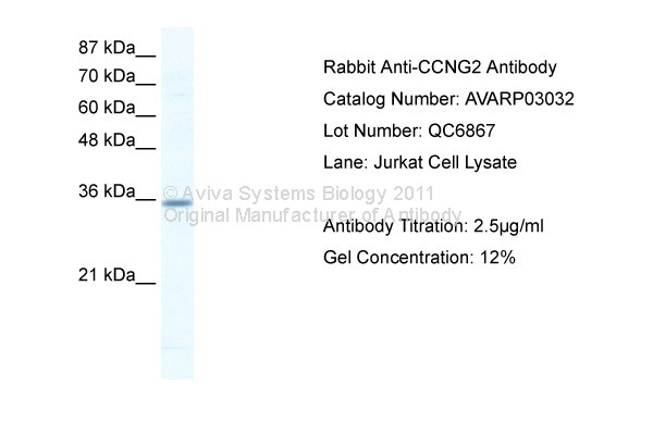 CCNG2 antibody - N-terminal region (AVARP03032_T100) in Human Jurkat cells using Western Blot