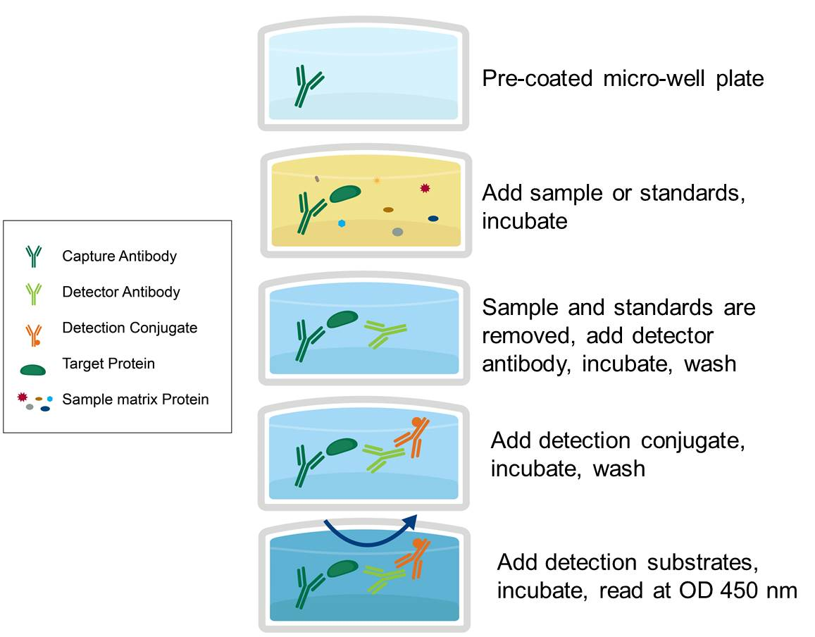 ELISA Sandwich Assay Summary